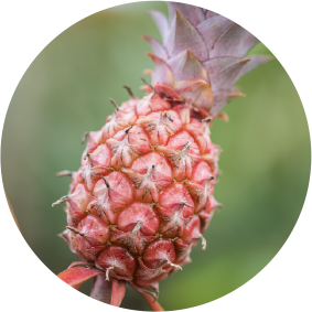 img-showing-pineapple-page