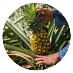 img-circle-pineapple-page-1