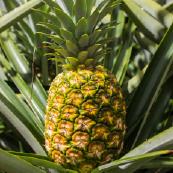 img-pineapple-sec1